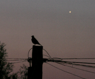 Blackbird and Venus at dawn (Copyright Martin J Powell, 2009)